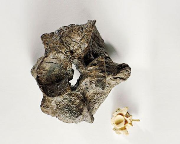 Una vértebra de Titanoboa empequeñece la de una moderna anaconda de 17 pies (Brian Tietz)