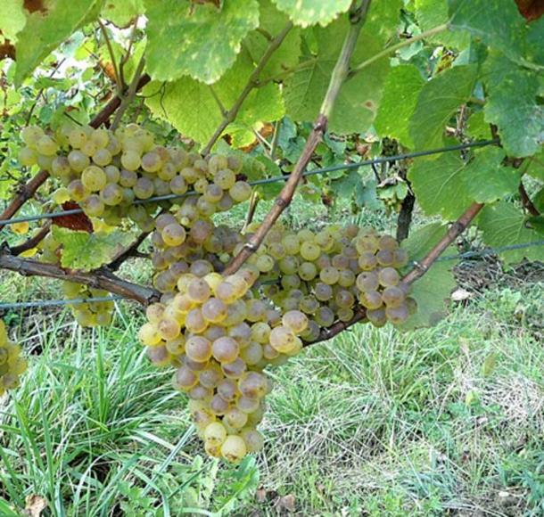 Se ha encontrado que una semilla de uva savagnin antigua tiene una relación directa con la variedad moderna. (CC BY-SA 4.0)