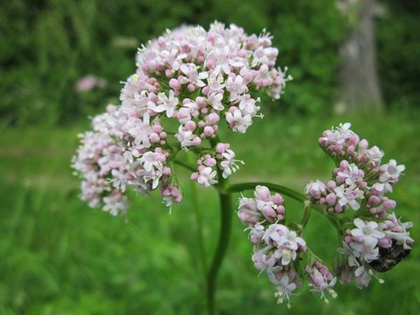 Valeriana officinalis. (Dominio público)
