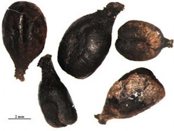Las semillas de uva romana anegadas como estas fueron probadas genéticamente para investigar variedades de uva en el pasado. Crédito: L. Bouby, CNRS / ISEM