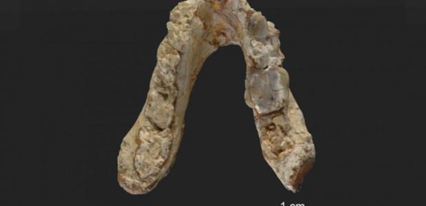 Portada - Mandíbula inferior del Graecopithecus freybergi (El Graeco) de 7,175 millones de antigüedad hallado en Pyrgos Vassilissis, Grecia, en lo que hoy es el área metropolitana de Atenas. (Fotografía: Wolfgang Gerber, Universidad de Tubinga)