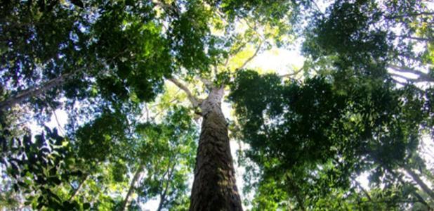 el nuevo árbol récord de Amazon. Fuente: Tobias Jackson