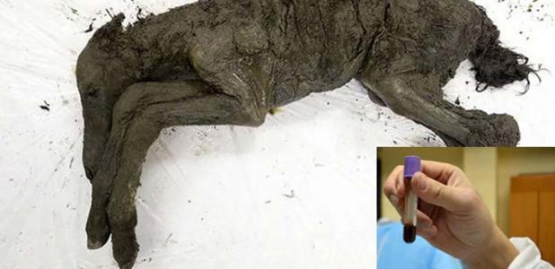 El potro de 42,000 años. Los científicos esperan que el descubrimiento de la sangre líquida del animal pueda ayudar a resucitar a la especie de la Edad de Hielo. Fuente: Universidad Federal del Noreste