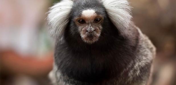 Este es un tití. Los científicos han empalmado uno de nuestros genes en sus cerebros de mono.