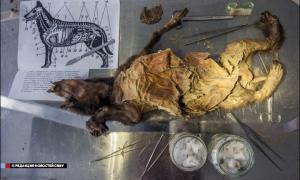Portada- restos de un cachorro de perro de hace 12.000 años han sido descubiertos intactos en el interior un bloque de permafrost (hielo perpetuo)-Foto: NEFU