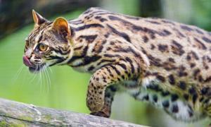 Portada-Gato leopardo asiático (hubpages)