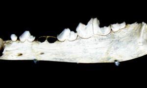 Portada-Fotografía de mandíbula de Canis lupus del Pleistoceno Superior (Cueva del Camino, Pinilla del Valle, Madrid, España). Ejemplar en el Museo Arqueológico Regional de la Comunidad de Madrid (Alcalá de Henares). (Wikimedia Commons)