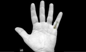 Portada-La falange encontrada en Tanzania, superpuesta sobre la mano de un hombre moderno. (Foto: Jason Heaton-Manuel Domínguez-Rodrigo /La Vanguardia)