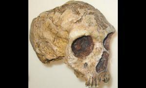 Portada-Vista semi-frontal de un cráneo Neandertal descubierto en Gibraltar. Museo Americano de Historia Natural. (Public Domain)