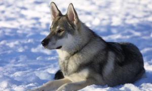 Portada-Ejemplar de Tamaskan, un perro de apariencia similar a la del lobo. (Public Domain)