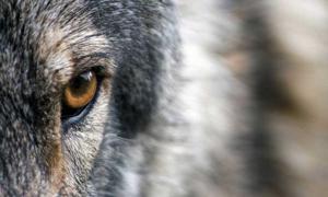 Portada - El lobo se acerca. (Dominio público)
