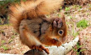 Portada - Ardilla roja con lepra en su oreja derecha. (Fotografía: ABC/ Dorset Wildlife Trust)