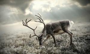 Portada - Fotografía de un reno. (Wallpaperscraft)