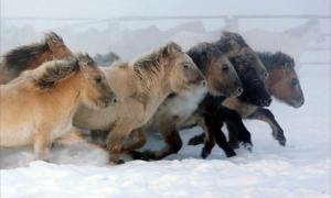Portada-Según los investigadores, esta raza de caballos, aparentemente tan bien adaptada al riguroso frío siberiano con su grueso y denso pelaje invernal, su abrigo frente a temperaturas de hasta -70° C, (-94F), son forasteros que llegaron a esta región apenas en los últimos 800 años.