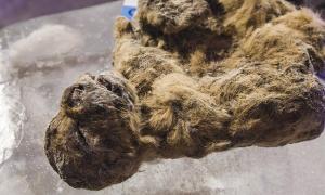 Portada-Hace pocos días, en Yakutsk, la ciudad más fría del planeta, dos especímenes prehistóricos de cachorros de leones de las cavernas congelados se expusieron públicamente a los medios en una cueva del permafrost, quizás como reminiscencia de su antiguo hábitat natural, ya que en su época vagaban por Siberia y se refugiaban en sus cuevas. Fotografías: Vera Salnitskaya.
