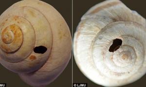 Portada-Según los investigadores, los antiguos pobladores prehistóricos de una cueva del norte de Libia agujereaban las conchas de los caracoles para facilitar la extracción de su carne. (Fotografías de la Universidad John Moores de Liverpool)