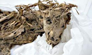 Portada - Fotografía de uno de los perros mejor conservados del cementerio precolombino descubierto en el año 2012 en el Zoo de Lima. (Fotografía: Luckez Olmos/ABC)