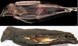 Portada-Arriba: se puede observar la cola de un animal en las entrañas de esta momia de cernícalo en esta imagen obtenida mediante Tomografía Computadorizada (foto de la Universidad de Stellenbosch). Abajo: El cernícalo momificado (Carina Beyer / Museos Iziko).