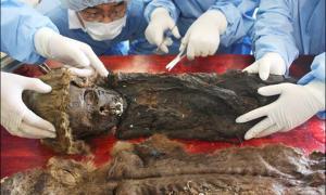 Portada - Esta fotografía exclusiva del Siberian Times nos muestra a científicos coreanos de la Universidad Nacional de Seúl trabajando en los restos humanos del niño momificado en el Centro Científico de Investigaciones Árticas. Fotografía: Sergey Slepchenko.