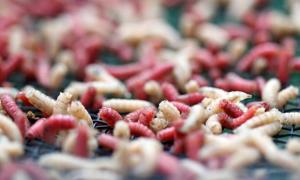 Portada - El uso de larvas en la medicina tradicional es conocido desde hace más de mil años. Fuente: Adobe Stock