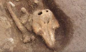 Portada - Restos de marsopa hallados recientemente en un afloramiento rocoso cercano a la isla de Guernsey, en el canal de la Mancha. Fotografía: Guernsey Archaeology/YouTube