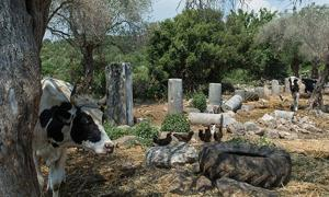 Portada - Vacas entre las ruinas de la antigua ciudad griega de Bargilia, Turquía. Fuente: Hurriyet Daily News