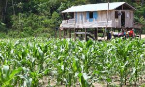 Ejemplo de una pequeña granja en una isla fluvial del Amazonas en Brasil. Hace 10.000 años, la gente hizo islas forestales mediante la domesticación de plantas en la Amazonía. Fuente: Silvio / Adobe Stock