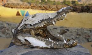 : La investigación indica que los cocodrilos del Nilo fueron cazados específicamente para rituales de momificación de cocodrilos. Fuente: quasarphotos / Adobe Stock