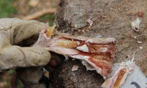 Dieta humana temprana: Médula ósea dentro de un hueso metapodial después de seis semanas de almacenamiento. Fuente Dra. Ruth Blasco / AFTAU