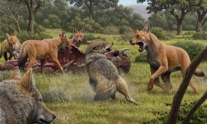 En algún lugar del suroeste de América del Norte durante el Pleistoceno tardío, una manada de lobos terribles (Canis dirus) se está alimentando de su matanza de bisontes, mientras que un par de lobos grises (Canis lupus) se acercan con la esperanza de buscar comida. Uno de los lobos temibles se apresura a enfrentarse a los lobos grises y su confrontación permite una comparación del lobo temible más grande, de cabeza más grande y marrón rojizo con su pariente gris más pequeño.