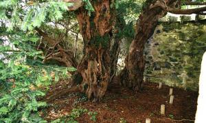 Fortingall Yew es el ser vivo más antiguo de Europa. El tamaño original del tronco está marcado por los postes de madera. Fuente: Moeng / CC BY-SA 3.0