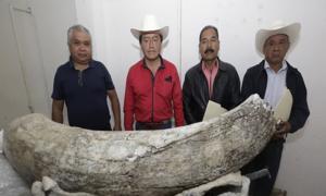 Colmillo de mamut encontrado con los residentes locales que hicieron el descubrimiento. Fuente: El Quito Medio.