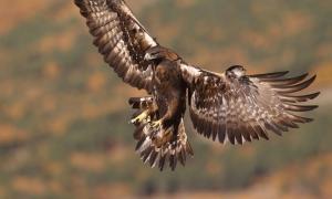 águila real, majestuosa ave venerada por los neandertales que usaban garras de águila para hacer joyas. Fuente: Paolo / Adobe.