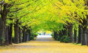 : Grupo de árboles de ginkgo en otoño. Fuente: nicholashan / Adobe Stock