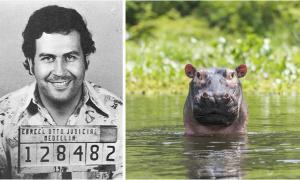 Estudio del equipo internacional de investigadores muestra que los hipopótamos introducidos en Colombia pueden restaurar un mundo perdido. Izquierda: Mugshot de Pablo Escobar. Derecha: una representación de hipopótamo en un río. Fuente: izquierda; Policía Nacional de Colombia / Public domain, derecho; Carl/ Adobe
