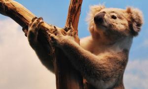 Koala (CC BY 2.0)