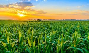 Salida del sol sobre plantación, representación del campo de cultivo perdido. Fuente: somkak / Adobe stock
