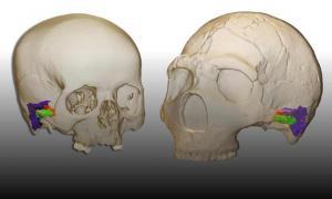 Un modelo 3D y reconstrucción virtual del oído en un humano moderno (izquierda) y un neandertal (derecha), que se utilizó para determinar las capacidades auditivas y del habla de un neandertal.