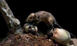 La Peste Negra se extendió por Europa por ratas. Fuente: rawinfoto/ Adobe Stock.