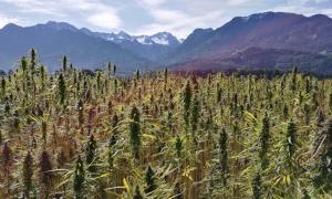 Los orígenes de las plantas de cannabis se remontan al antiguo Tíbet. Fuente: CC0 / Pixabay