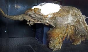 Utilizando material genético de este mamut muerto, los investigadores japoneses han dado los primeros pasos para devolver la vida a los mamuts. Fuente: Cyclonaut / CC BY-SA 4.0
