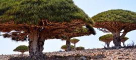 Portada - Dragos de la isla de Socotora, Yemen (CC by SA 2.0)