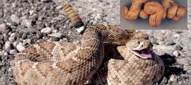 Serpiente de cascabel entera encontrada en coprolitos producidos por humanos.
