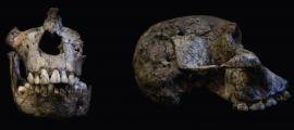 los dientes en estos cráneos Australopithecus africanus contienen evidencia importante sobre la nutrición de estos individuos a medida que crecían. Fuente: Luca Fiorenza, Uso Justo.