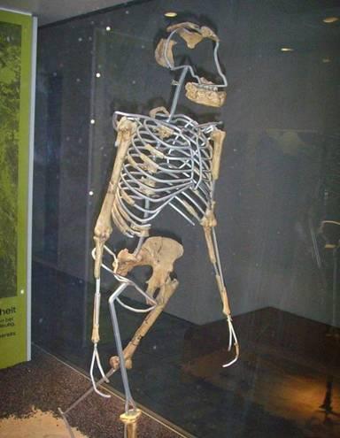 australopithecus afarensis Lucy.jpg