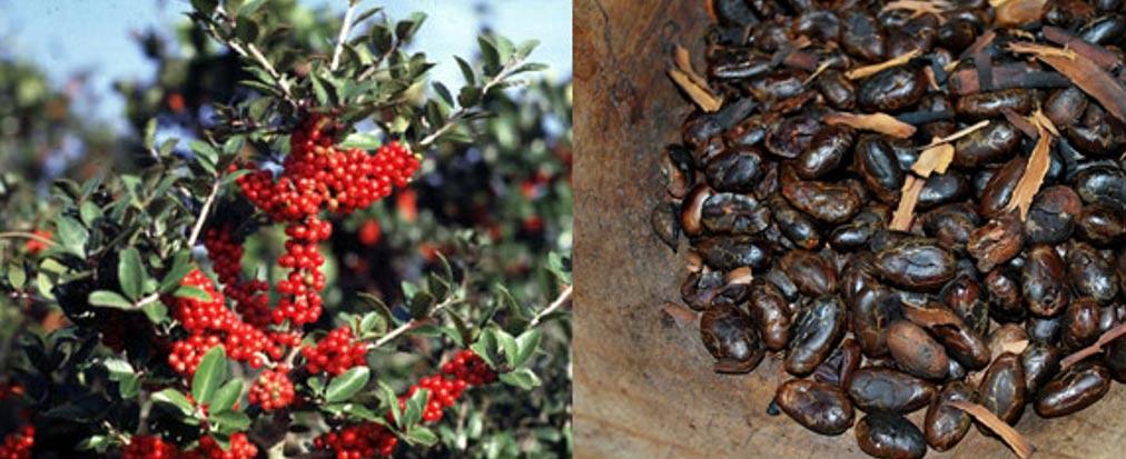 La planta del Acebo/Ilex vomitoria, a la izquierda (Public Domain) y los granos de cacao tostados, a la derecha (CC BY-SA 3.0), eran empleados para elaborar la tradicional Bebida Negra, que contiene cafeína.